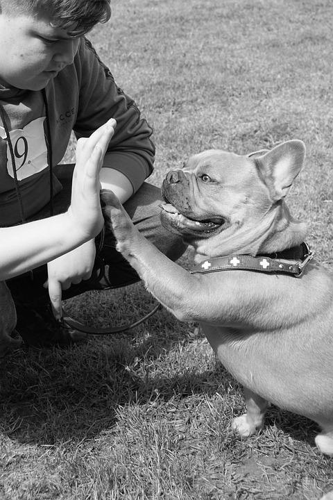 french-bulldog-4217621_960_720.jpg