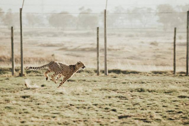 cheetah-2560006_1280